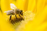 Fototapety Bee on a flower