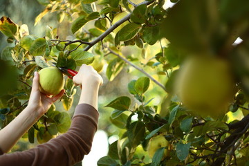 gathering fresh fruits from tree
