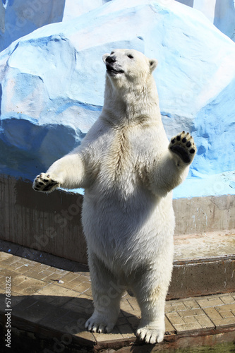 Papiers peints Ours Blanc Polar bear standing on its hind legs.