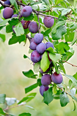 Plums purple on a branch