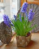 Spring flowers blue hyacinths in basket