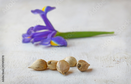 Blue Reticulated iris - Iris reticulata 'Harmony'
