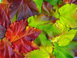 Wilder Wein - Virginia creeper - Parthenocissus quinquefolia