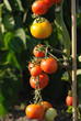 Tomatoes ripening in sunlight