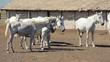 Beautiful white Lipizzaner horses at the farm