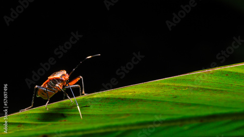 Red Stink Bug, a macro shot