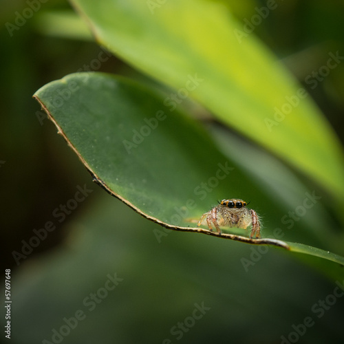 Closeup of a jumping spider on a green leaf