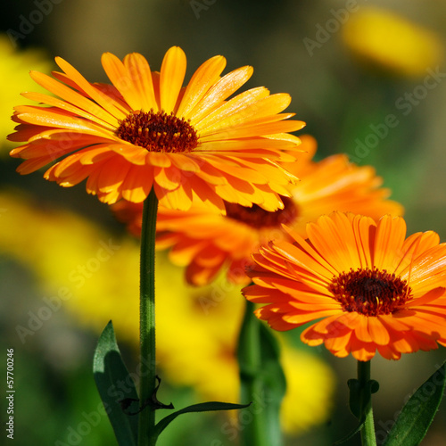 canvas print picture Marigold (Calendula officinalis)