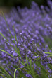 closeup of lavender flowers