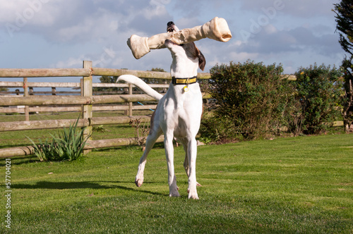 Playful Greyhound