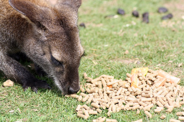 wallaby eating