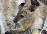 cute baby wallaby