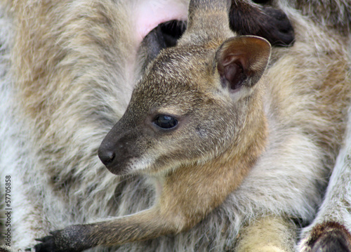 Papiers peints Kangaroo cute baby wallaby