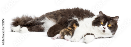 British Longhair lying looking at the camera, feeding its kitten
