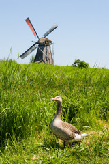 A duck against the windmill