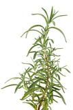 Rosemary herb, isolated on white