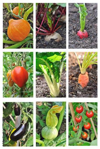 planche légumes du potager
