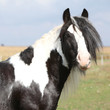 Beautiful irish cob stallion on pasturage