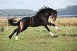 Welsh part bred stallion jumping