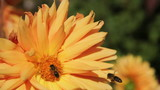 Pair of bees sucking nectar on flower orange dahlia