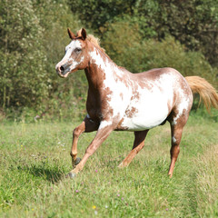 Gorgeous paint horse mare running in freedom