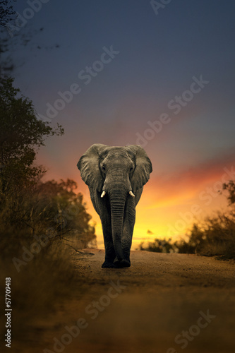 Canvas Afrika african elephant walking in sunset