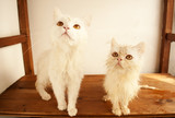 Two white cats