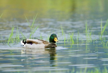 Mallard duck on a pond