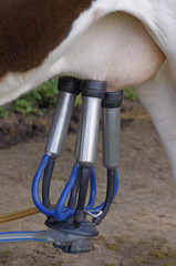 Cows in a farm. Automatic milking machine, datail.
