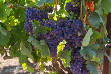 Healthy ripe sweet and juicy red wine grapes.