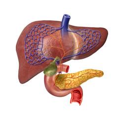 Human Liver system cutaway