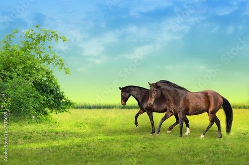 Zwei braune Pferde auf der Weide im Morgengrauen