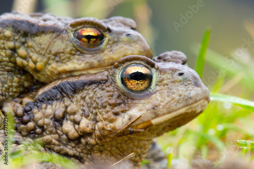 Amplexing couple of Common Toad