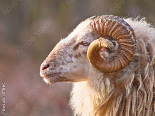 Male long-tailed sheep