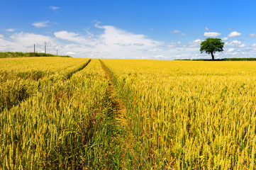 Wheat fields with tree