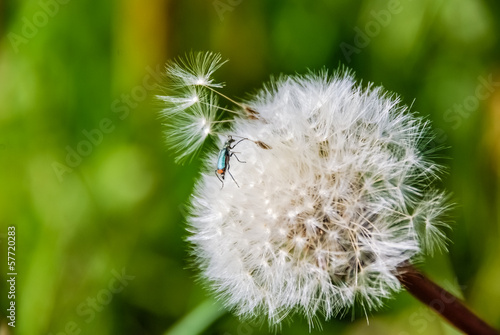 Dandelion with insect