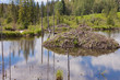 Castor canadensis beaver lodge in taiga wetlands