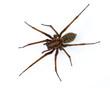 Leinwanddruck Bild - Tegenaria spider on white