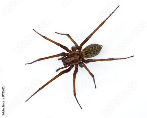 Leinwanddruck Bild Tegenaria spider on white