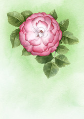 Watercolor illustration of dog-rose flower