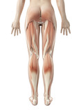 female leg musculature poster