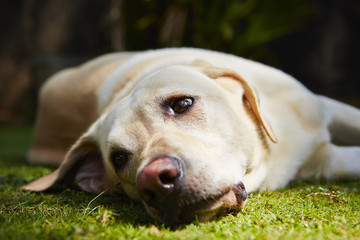 Tired dog