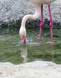 Greater Flamingo wading