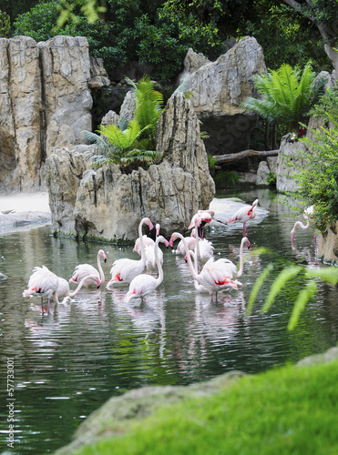Flock of Greater Flamingos wading and eating