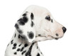 Close-up of a Dalmatian puppy's profile, isolated on white