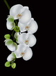 white orchid blossom isolated on black