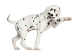 Side view of a Dalmatian puppy pawing up, isolated on white - 57734285