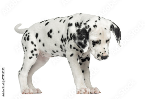 Dalmatian puppy standing, looking down, isolated on white