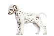 Side view of a Dalmatian puppy standing up, looking down