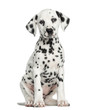 Front view of a Dalmatian puppy sitting, facing, isolated